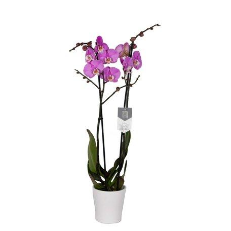 Vlinderorchidee - Phalaenopsis Luxor in Anna witte pot