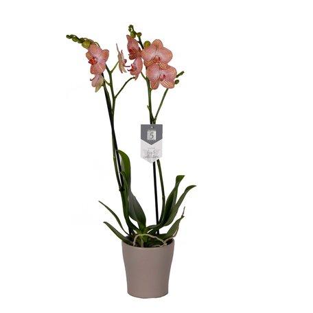 Vlinderorchidee - Phalaenopsis Ravello in Anna taupe pot