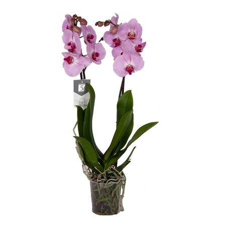 Vlinderorchidee - Phalaenopsis Sacramento