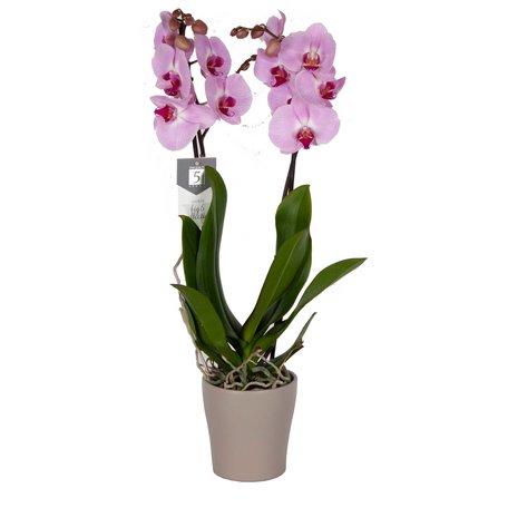 Vlinderorchidee - Phalaenopsis Sacramento in Anna taupe pot