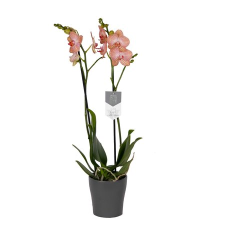 Vlinderorchidee - Phalaenopsis Ravello in Anna grijze pot