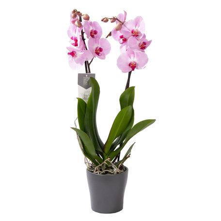Vlinderorchidee - Phalaenopsis Sacramento in Anna grijze pot