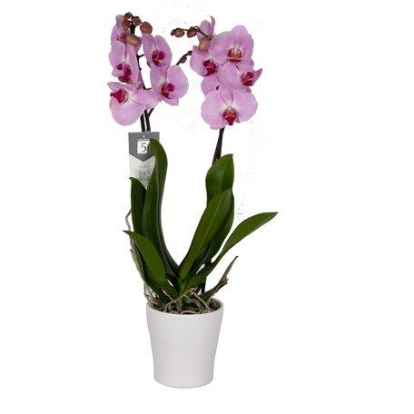 Vlinderorchidee - Phalaenopsis Sacramento in Anna witte pot