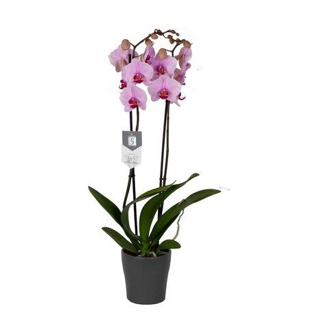 Vlinderorchidee - Phalaenopsis Washington in Anna grijze pot