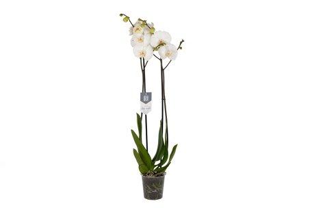 Vlinderorchidee - Hoogte: 60cm - Phalaenopsis White World