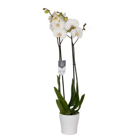 Vlinderorchidee - Phalaenopsis Leeds in Anna witte pot