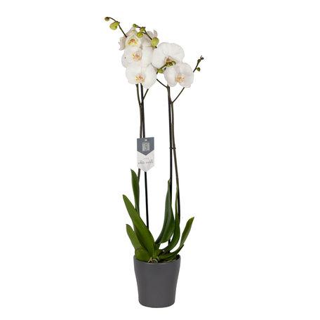 Vlinderorchidee - Phalaenopsis Leeds in Anna grijze pot