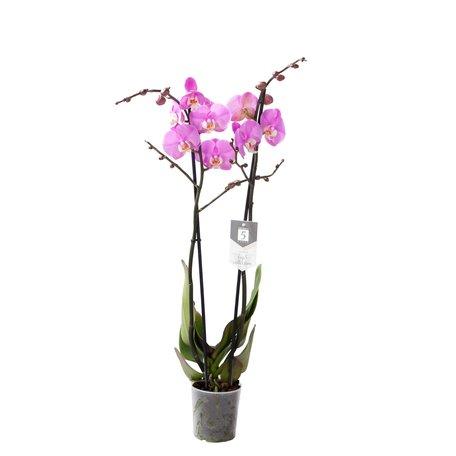 Vlinderorchidee - Hoogte: 60cm - Phalaenopsis Luxor - 2 takken