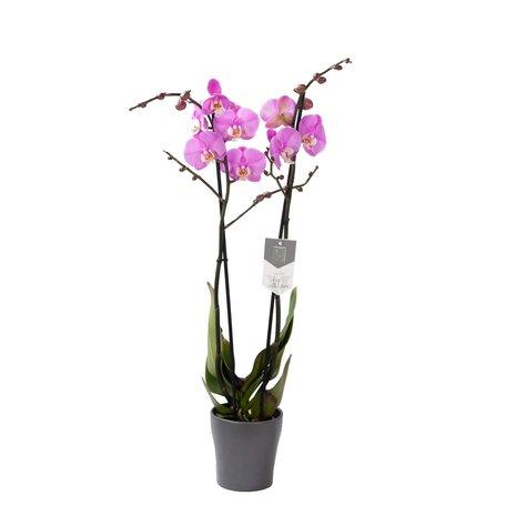 Vlinderorchidee - Phalaenopsis Luxor in Anna grijze pot