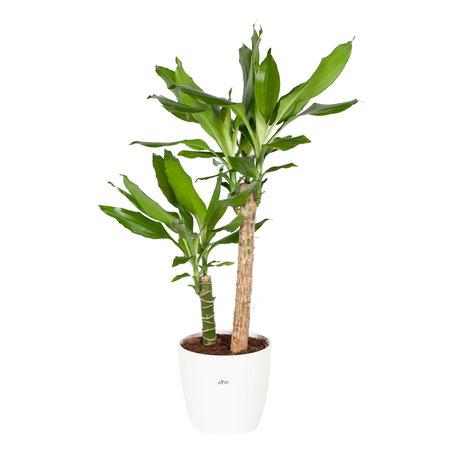Drakenplant - Dracaena steudneri Green - Elho Brussels Round wit pot - Hoogte: 75cm