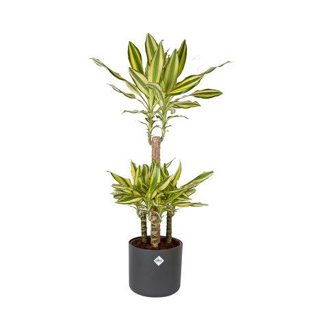 Drakenplant - Dracaena Yellow Coast Elho B.for soft sierpot Antracite pot