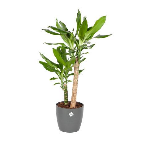 Drakenplant - Dracaena steudneri Green Elho Brussels Round Antracite pot