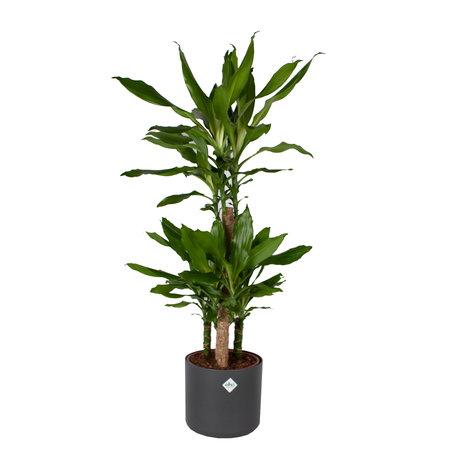 Drakenplant - Dracaena steudneri Green Elho B.for soft sierpot Antraciete pot