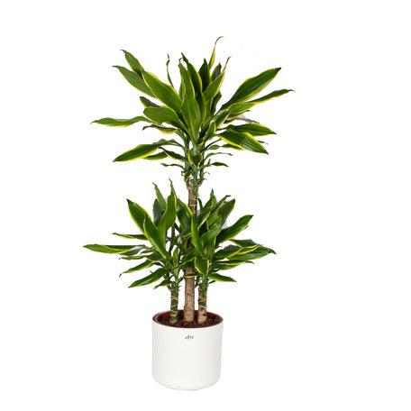 Drakenplant - Dracaena Golden Coast Elho B.for soft sierpot wit - Luchtzuiverend