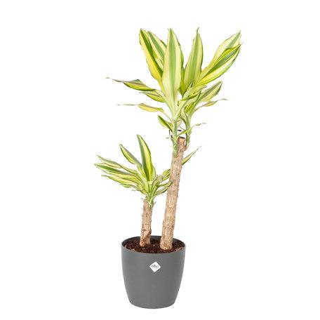 Drakenplant - Dracaena Yellow Coast in Elho Brussels Round Antraciet