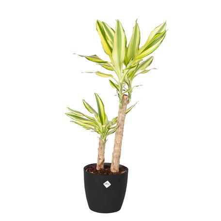 Drakenplant - Dracaena Yellow Coast Elho Brussels Round zwart