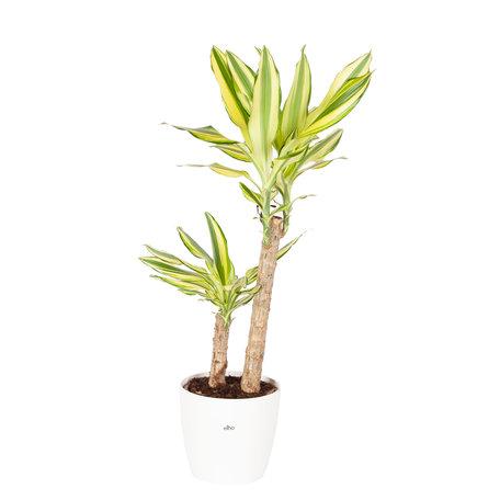 Drakenplant - Dracaena Yellow Coast Elho Brussels Round wit