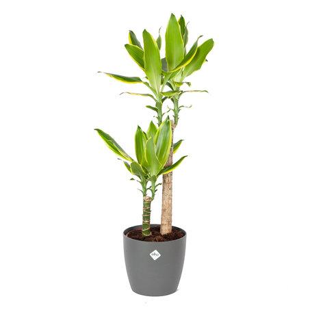 Drakenplant - Dracaena Golden Coast Elho Brussels Round Antraciet