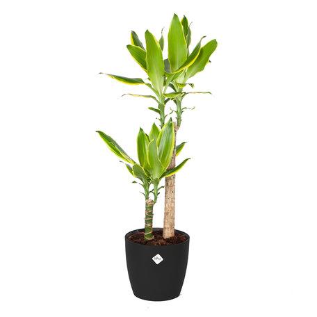 Drakenplant - Dracaena Golden Coast Elho Brussels Round zwart