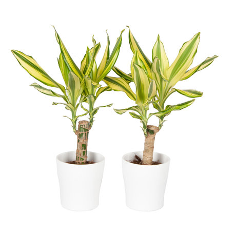 Drakenplant - Duo Dracaena Yellow Coast in Anna wit - Luchtzuiverend