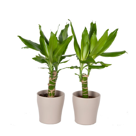 Drakenplant - Duo Dracaena Steudneri Green in Anna taupe pot