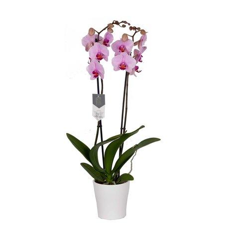 Phalaenopsis Washington in Anna White()