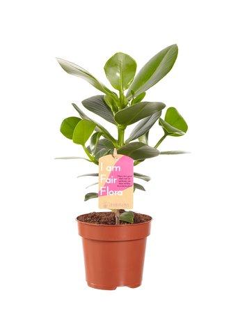 2x Clusia Princess - Hoogte: 35cm - handtekeningboom