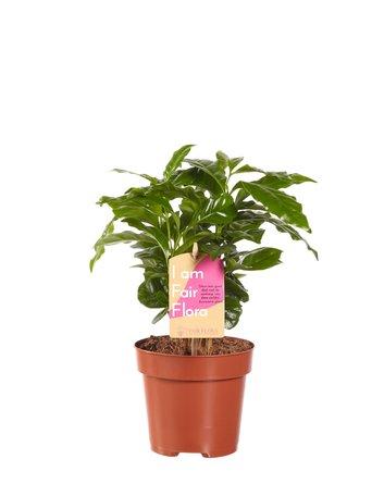 Koffie plant - Hoogte: 25cm