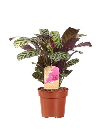 Ctenanthe Burle Marxii - Hoogte: 30cm - Met Fair Flora label
