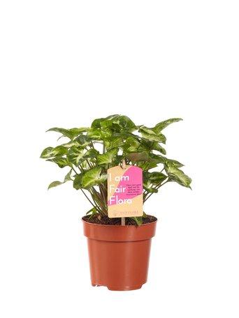 Syngonium Pixi - Hoogte: 20cm - Met Fair Flora label