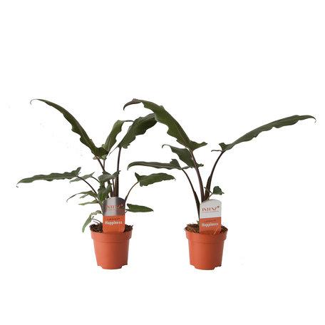 2x Alocasia Lauterbachiana - Hoogte: 45cm - exotische uitstraling