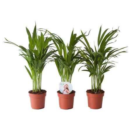 3x Goudpalm - Arecaceae - Hoogte: 35cm