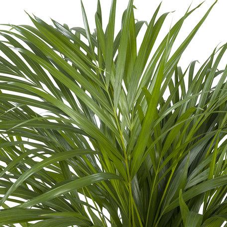 Areca / Dypsis Palm(Areca)