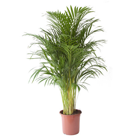 Goudpalm(Areca / Dypsis Palm)