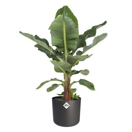 Bananenplant - Musa in ® ELHO b.for soft sierpot- Zwart - ↕ 80 cm - Musa Dwarf cavendish