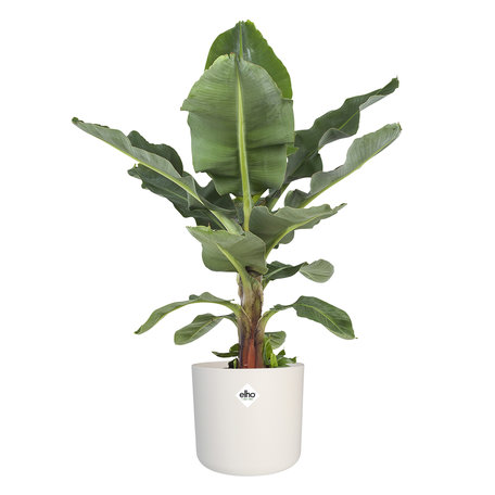 Bananenplant - Musa in ® ELHO b.for soft sierpot- Wit - ↕ 80 cm - Musa Dwarf cavendish