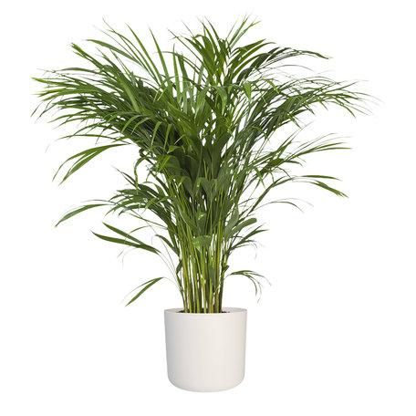 Goudpalm in ® ELHO b.for soft sierpot - Hoogte: 90cm - Areca / Dypsis Palm