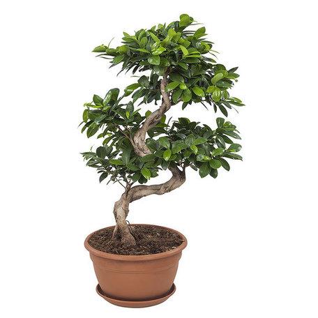 Ficus Gin Seng Bonsai(FGS25)