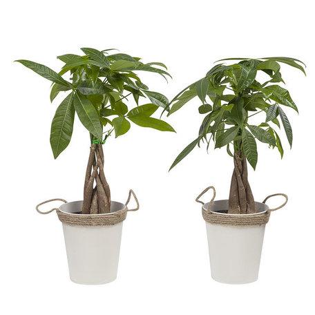 2x Watercacao (geldboom) - Hoogte: 38 cm - In zomerse zink pot - Pachira Aquatica