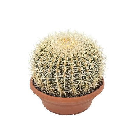 Egelcactus - Hoogte: 30 cm - Echinocactus grusonii