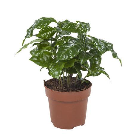 4x Koffieplant - Hoogte: 25 cm - Coffea Arabica (Coffea)