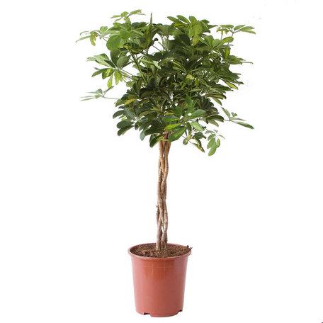 Vingersboom - hoogte: 100 cm - Schefflera Arboricola gold capella