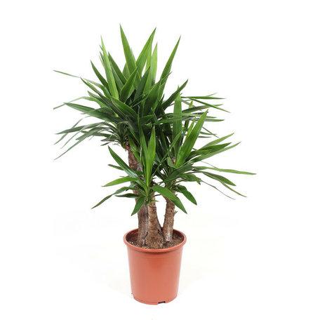 Palmlelie Yucca - Hoogte: 100 cm - Yucca Elephantipes