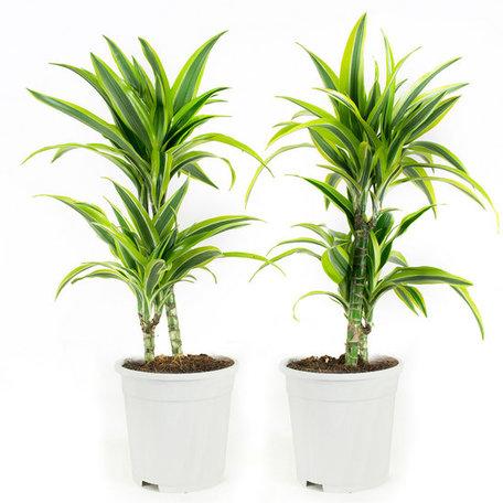 2x Drakenbloedboom Lemon Lime - Hoogte: 65 cm - Dracaena fagans dermensis lemon lime - luchtzuiverend