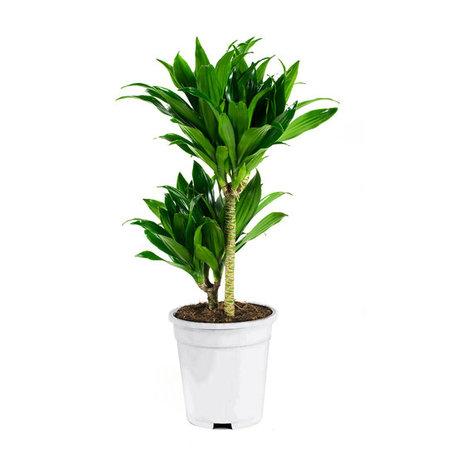 2x Drakenbloedboom 'compacta' - Hoogte: 65 cm - Dracaena fragans compacta - luchtzuiverend