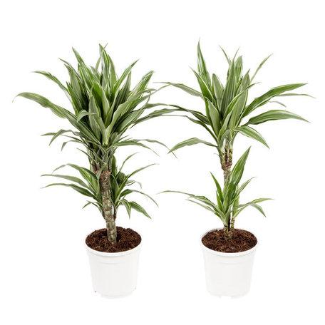 2x Drakenbloedboom 'Warneckii' - Hoogte: 70 cm - Dracaena Fragrans 'Warneckii' - 2 takken - luchtzuiverend