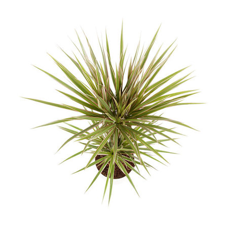 2x Drakenbloedboom - Hoogte: 75cm - Dracaena Marginata 'Bicolour'