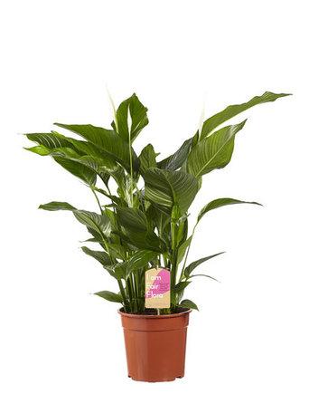 Lepelplant - Hoogte: 100 cm - Spathiphyllum Vivaldi - luchtzuiverend