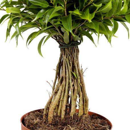 2x Treurvijg - Hoogte: 30 cm - Ficus benjamina Babilatos