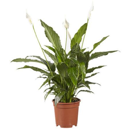 Lepelplant - Hoogte: 70 cm - Spathiphyllum Vivaldi - luchtzuiverend